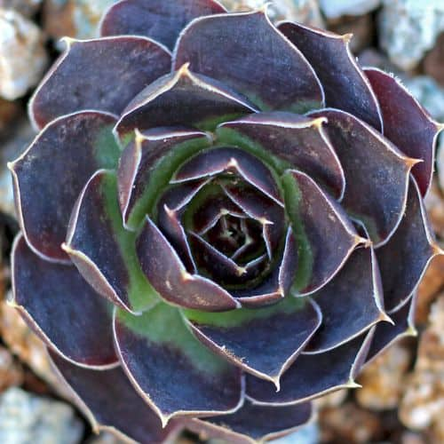 40+ Gorgeous Purple Succulents to Style Your Garden 111