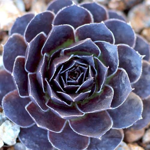 40+ Gorgeous Purple Succulents to Style Your Garden 81