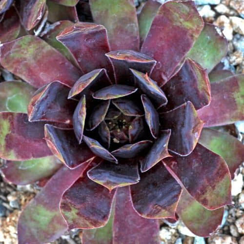 40+ Gorgeous Purple Succulents to Style Your Garden 119