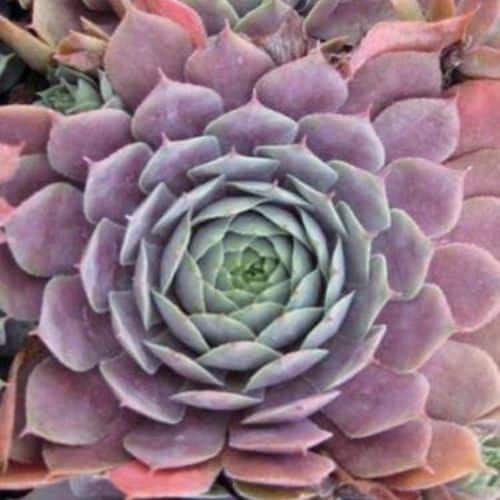 40+ Gorgeous Purple Succulents to Style Your Garden 46