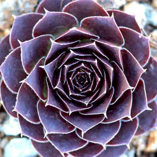 40+ Gorgeous Purple Succulents to Style Your Garden 93