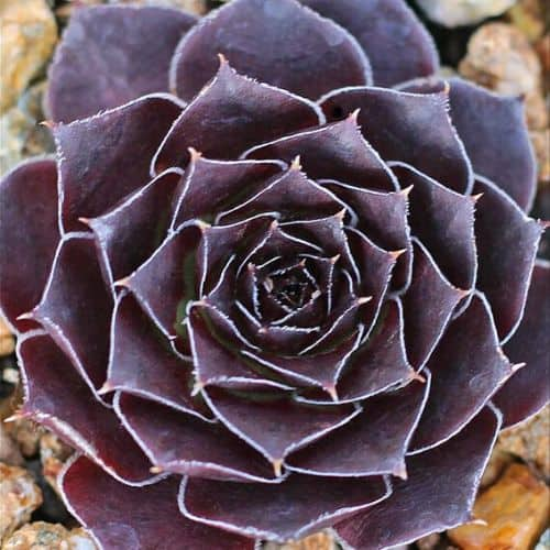 40+ Gorgeous Purple Succulents to Style Your Garden 69