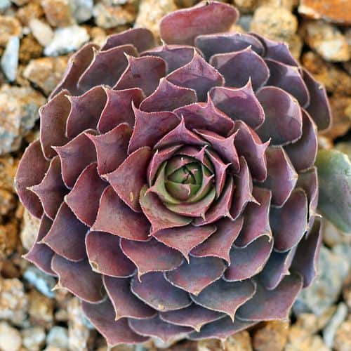 40+ Gorgeous Purple Succulents to Style Your Garden 125