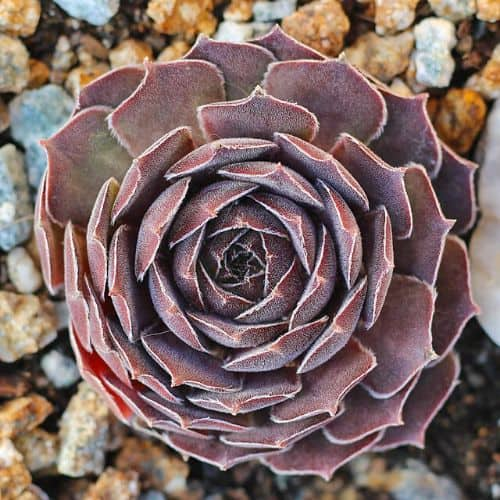 40+ Gorgeous Purple Succulents to Style Your Garden 129