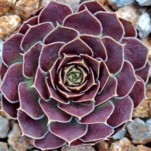 40+ Gorgeous Purple Succulents to Style Your Garden 134