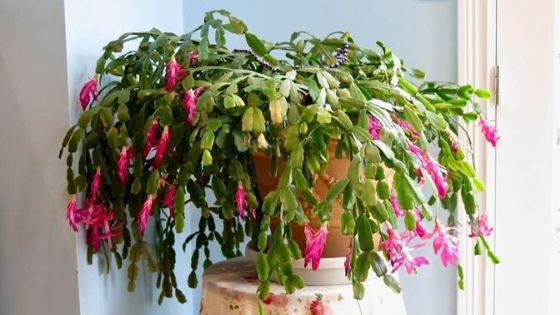 what does a Christmas cactus look like