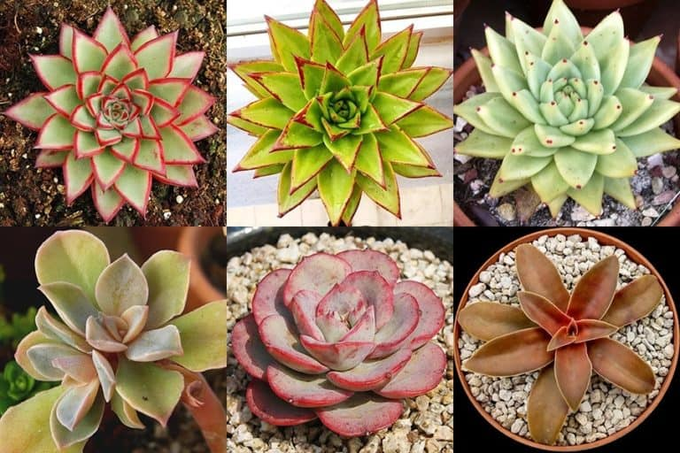 160+ Amazing Echeveria Types with Pictures