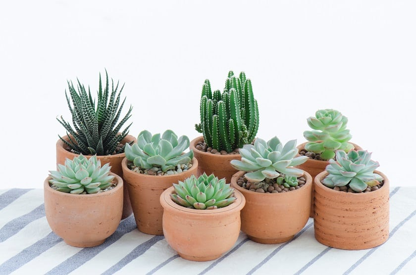 succulents in terracotta pots