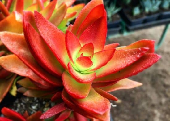 Succulent Leaves Turning Red: 5 Easy Ways to Make Succulents Change Color 5