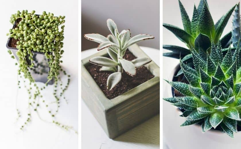 7 Succulents that can be Propagated Easily - Great for Beginners! 3