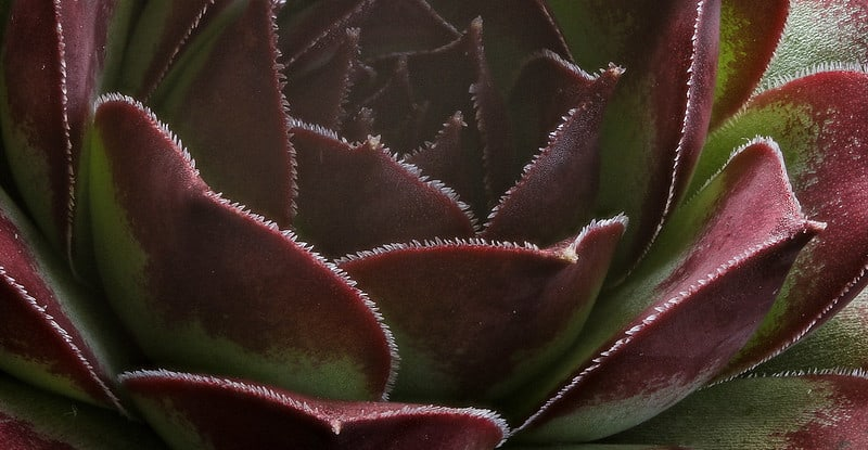grow hens and chicks indoors