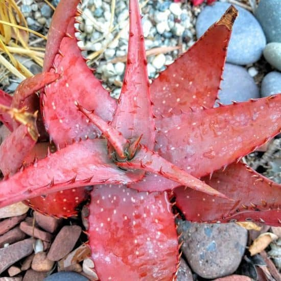 Succulent Leaves Turning Red: 5 Easy Ways to Make Succulents Change Color 4