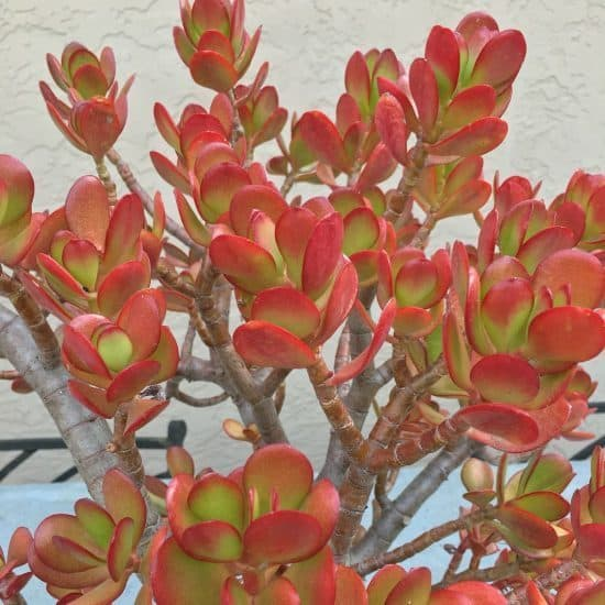 Succulent Leaves Turning Red: 5 Easy Ways to Make Succulents Change Color 3