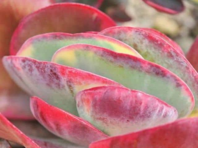 succulent leaves turning red