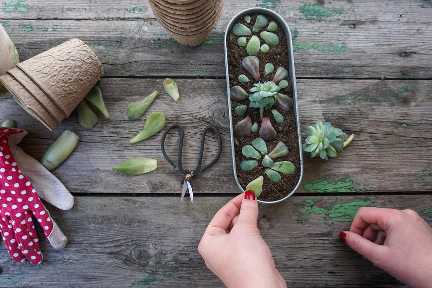 succulents that can be propagated