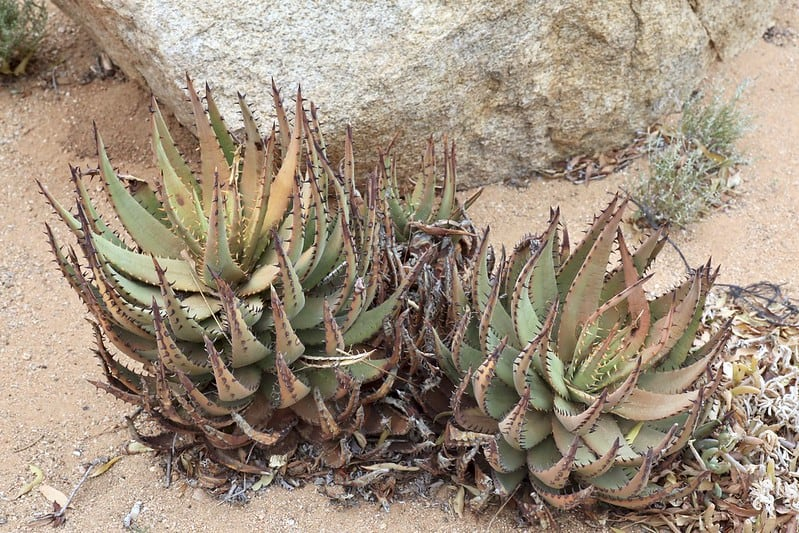 Cactus or Succulent? 5 Succulents That Look Like Cactus 18