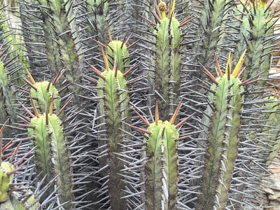 Cactus or Succulent? 5 Succulents That Look Like Cactus 9