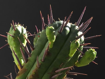 Cactus or Succulent? 5 Succulents That Look Like Cactus 8