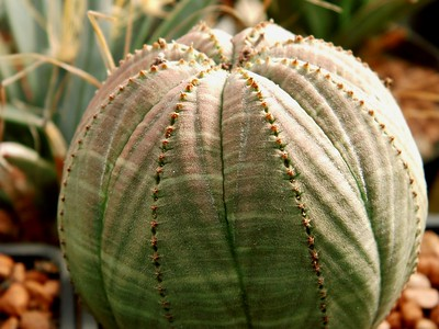 Cactus or Succulent? 5 Succulents That Look Like Cactus 10