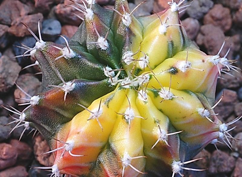 how big do moon cactus get