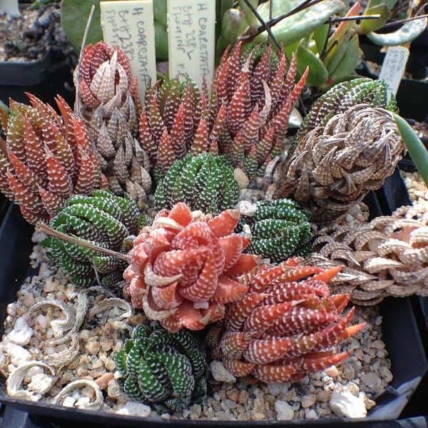 haworthia types