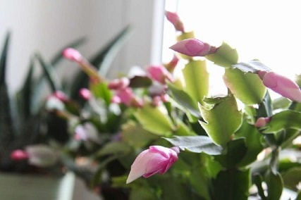 Is Christmas cactus toxic to cats