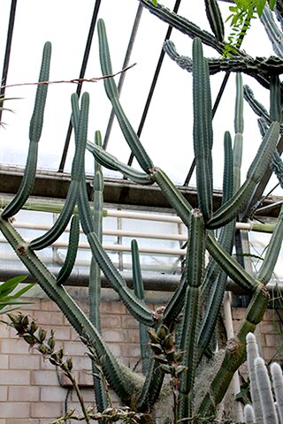 Cactus or Succulent? 5 Succulents That Look Like Cactus 2