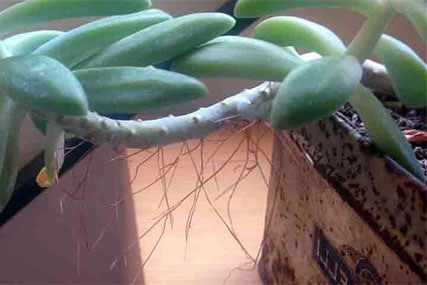 can you cut off aerial roots