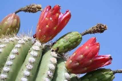 Can You Eat Saguaro Fruit? These 5 Incredible Health Benefits of Saguaro Fruit May Interest You