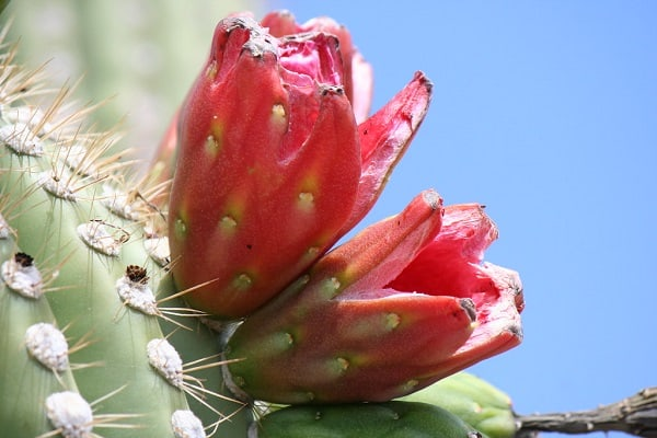 Can You Eat Saguaro Fruit? These 5 Incredible Health Benefits of Saguaro Fruit May Interest You 1