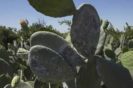 How to Get Rid of Cactus Bugs