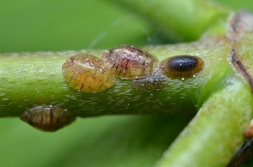 how to get rid of scale insects on cactus