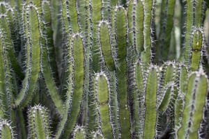 Cactus or Succulent? 5 Succulents That Look Like Cactus