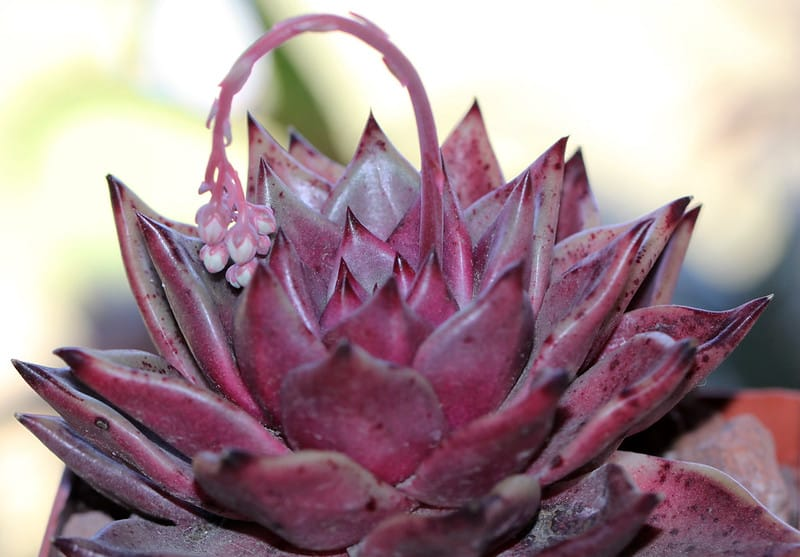 Flowering Succulents: The 10 Most Beautiful Species 1