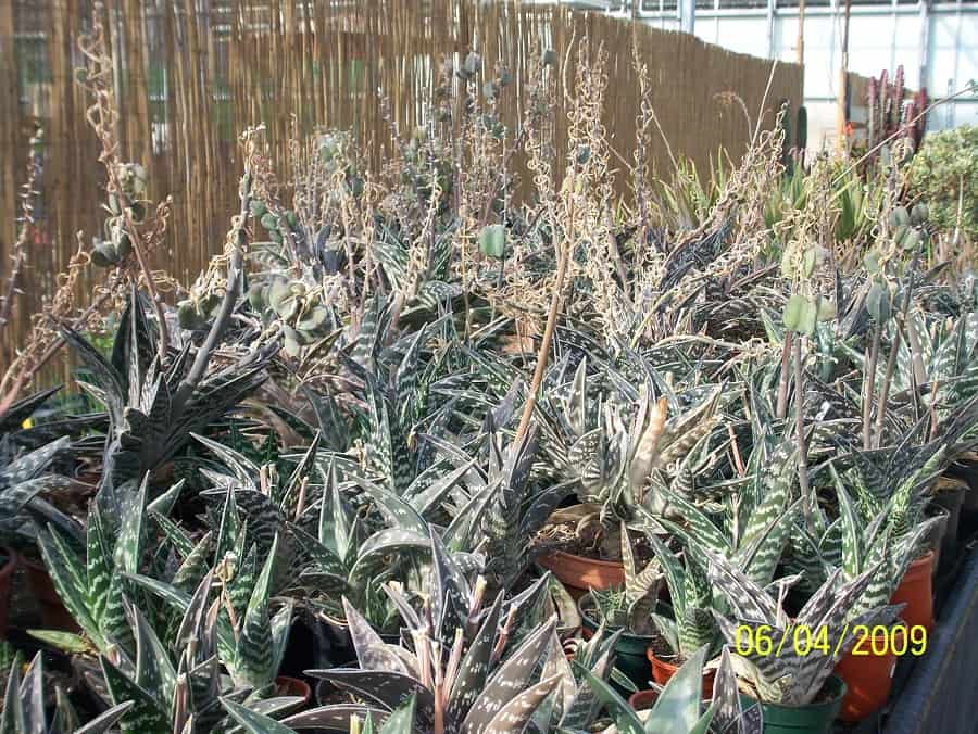 types of aloe plants