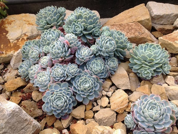 what succulents are cold hardy