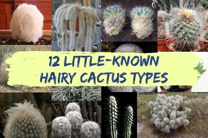 hairy cactus types