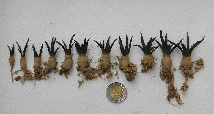 Understanding the Cactus Root Systems: 4 Types of Cactus Roots 7