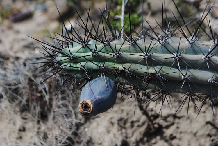 11 Cereus Cactus Types: How to Care for Cereus Cactus 4