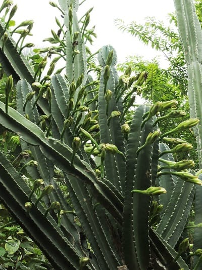 11 Cereus Cactus Types: How to Care for Cereus Cactus 7