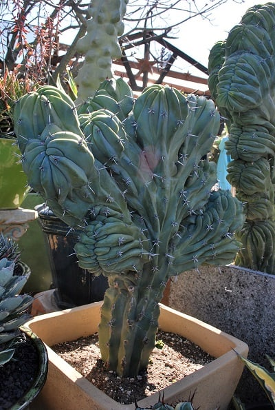 11 Cereus Cactus Types: How to Care for Cereus Cactus 3