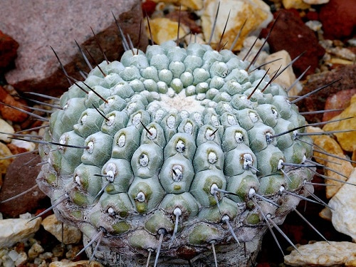 Understanding the Cactus Root Systems: 4 Types of Cactus Roots 6