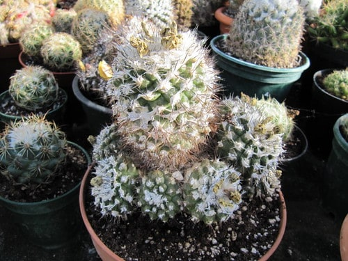 Understanding the Cactus Root Systems: 4 Types of Cactus Roots 5