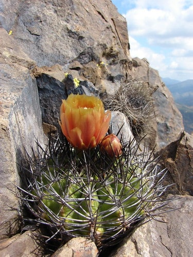 Understanding the Cactus Root Systems: 4 Types of Cactus Roots 2
