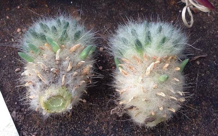 hairy austrocylindropuntia lagopus cactus
