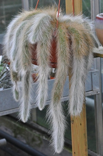 hairy monkey's tail cactus