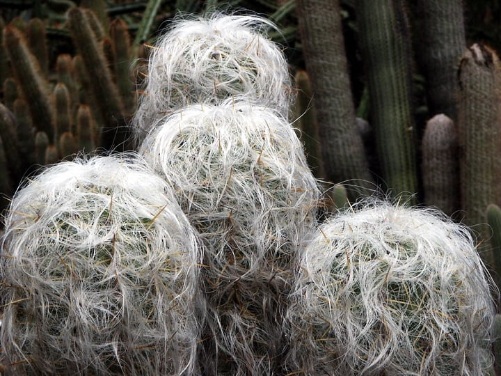 12 Little-known Hairy Cactus Types 1