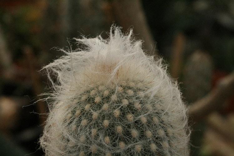 hairy peruvian old man cactus
