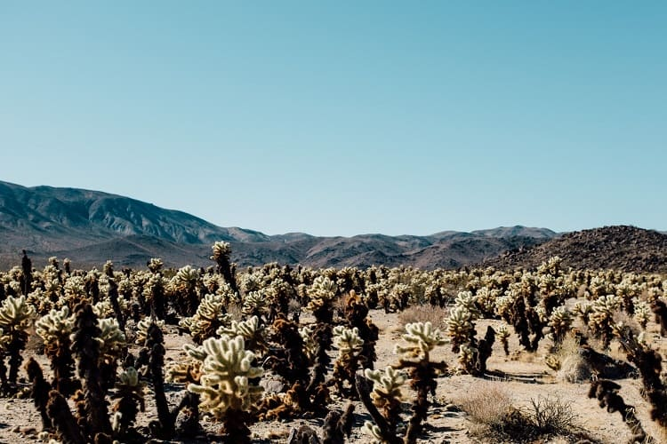cactus adaptations in the desert