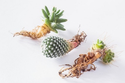Understanding the Cactus Root Systems: 4 Types of Cactus Roots